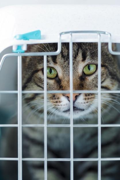 Gato gris en una jaula para transporte Foto Premium