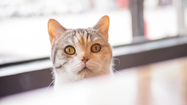 Gato lindo que mira la comida en una mesa de madera.
