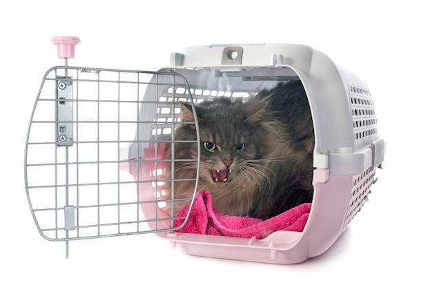 Gato persa enojado Foto Premium