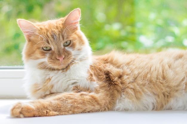 Gato rojo acostado en el alféizar de una ventana Foto Premium