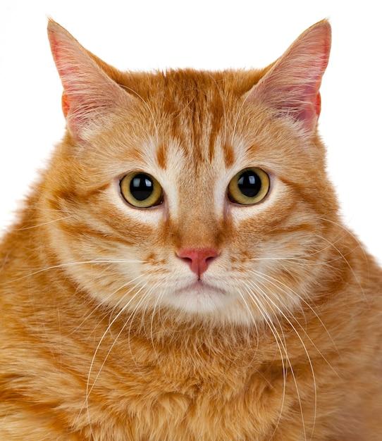 Gato rojo adulto Foto Premium