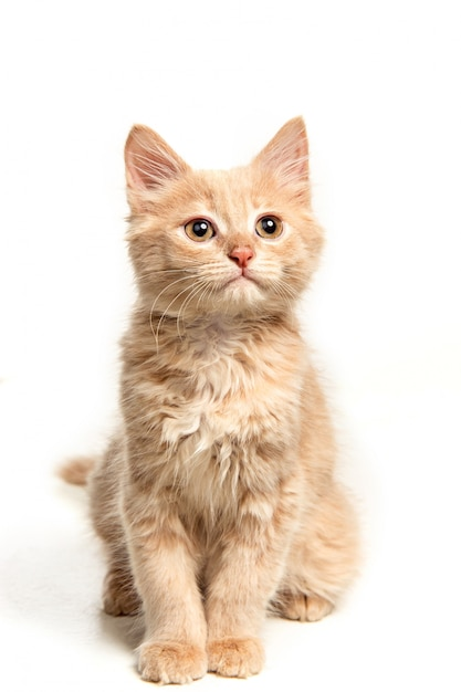 El gato rojo o blanco i en estudio blanco Foto gratis