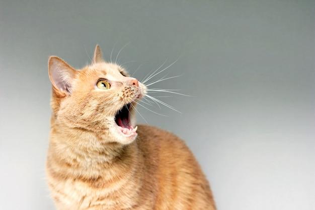 El gato sorprendido el asombro del gato. abre la boca con sorpresa. un grado extremo de sorpresa. gato asustado estar en estado de shock. estupor. Foto Premium