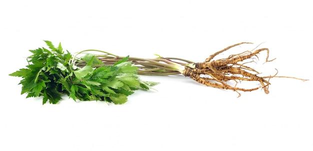 Ginseng de la planta medicinal aislado en blanco. Foto Premium