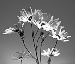 Girasoles En Blanco Y Negro Descargar Fotos Gratis