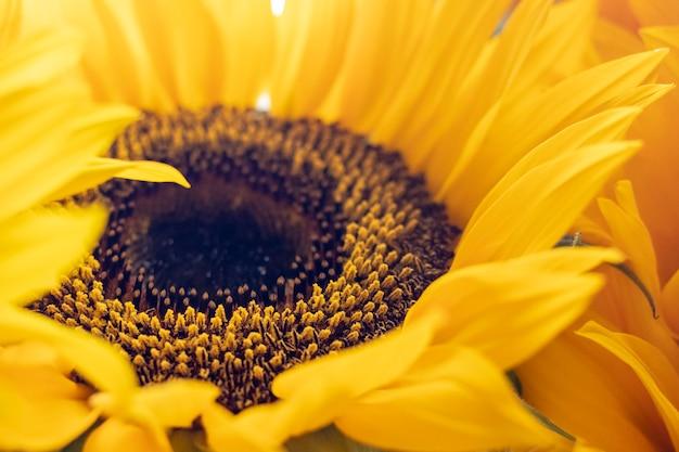 Girasoles en el sol Foto Premium