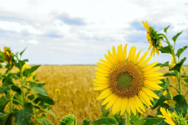 Girasoles solitarios en un campo de trigo en un día de verano Foto Premium