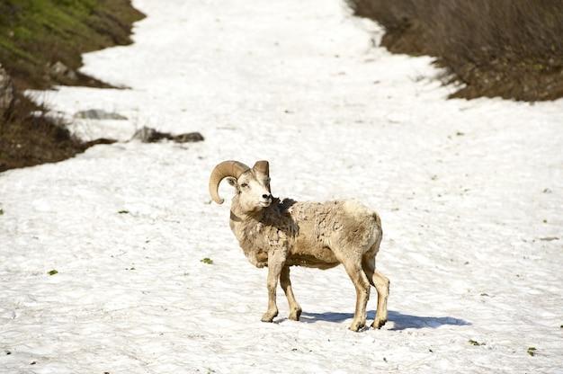 Glaciar de ovejas de bighorn Foto gratis