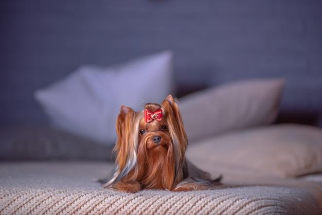 Glamorosa raza de perro yorkshire terrier se encuentra en la cama en un estudio fotográfico con un interior de año nuevo. Foto Premium