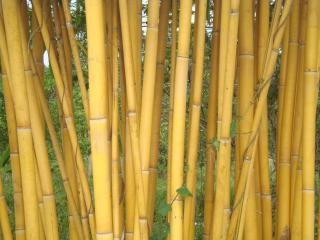 Golden bamboo Foto gratis
