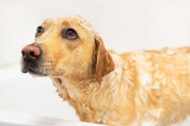 Golden retriever tiene miedo de tomar un baño. expresión triste Foto Premium