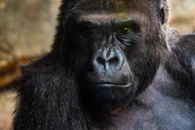Gorila macho occidental sentada, gorila gorila gorila, en un zoológico Foto Premium