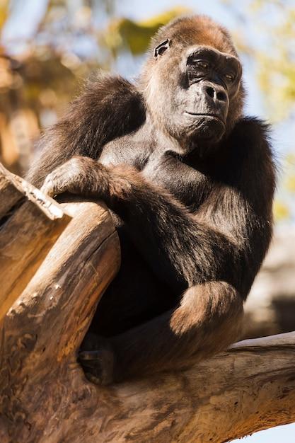 Gorila Foto gratis