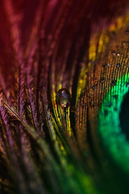 Gota de agua transparente blanca sobre el plumaje de pavo real. Foto gratis