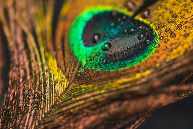 Gotas de agua sobre el telón de fondo de plumas de pavo real Foto gratis