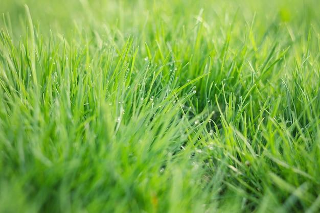 Gotas de rocío sobre la hierba verde joven. hierba verde fresca de la primavera con el primer de los descensos de rocío. Foto Premium