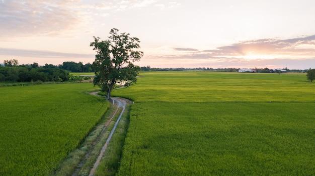 Gran árbol a lo largo del sendero junto a dos campos de arroz. Foto Premium