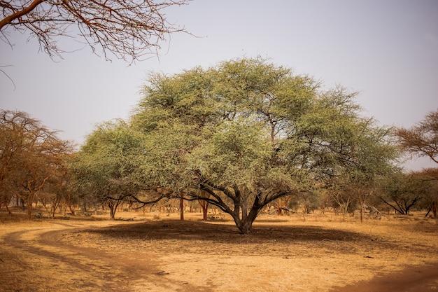 Gran árbol verde haciendo gran sombra en el camino arenoso. vida salvaje en safari. selvas de baobabs y arbustos en senegal, áfrica. reserva de bandia. clima cálido y seco. Foto Premium