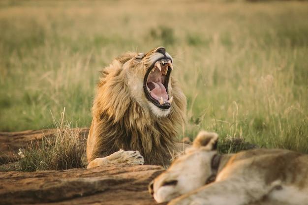 Gran león tirado en el suelo y bostezando Foto gratis