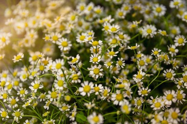 Un gran ramo de pequeñas delicadas margaritas blancas. Foto Premium