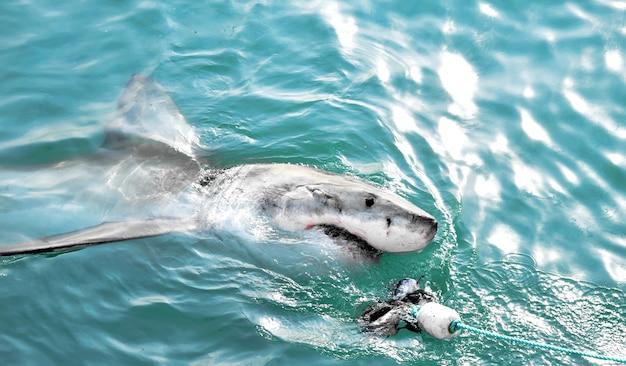 Gran tiburón blanco persiguiendo un señuelo de carne y rompiendo la superficie del mar. Foto gratis