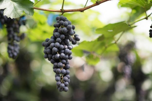 Granja de cosecha de uva Foto gratis