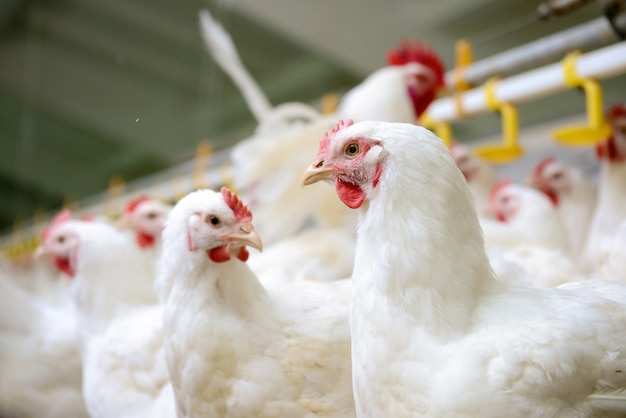 Granja de pollos blancos Foto Premium