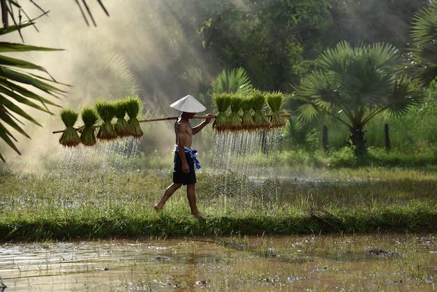 Granjero de asia sosteniendo la planta de arroz en el hombro caminando en el campo de arroz Foto Premium