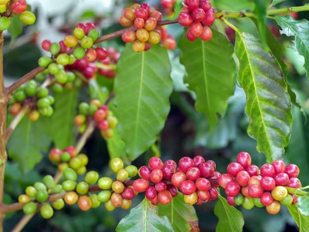 granos de café de cereza en la rama de la planta de café antes de la