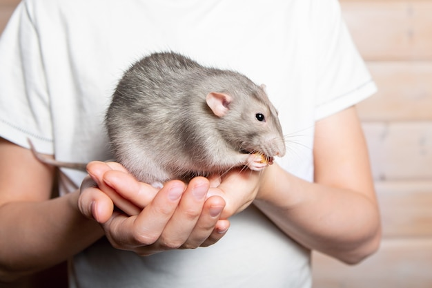 Gris mano rata dumbo en manos de un niño. mascota, primer plano. año de la rata 2020. Foto Premium