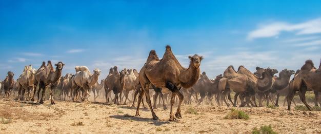 Grupo de camellos caminando en el desierto Foto Premium