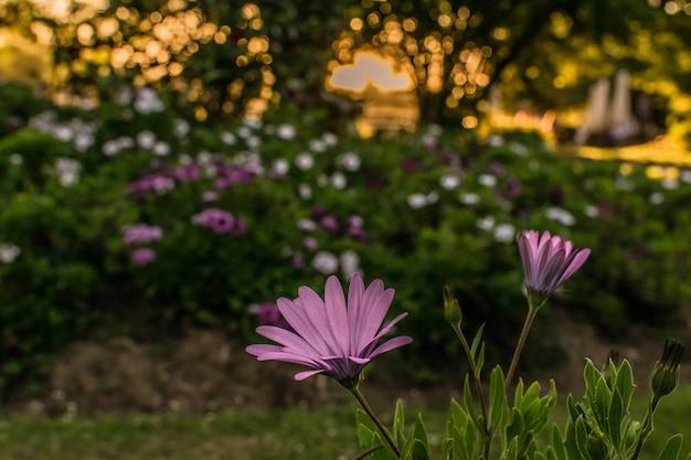 Grupo de flores en el parque o jardín al atardecer Foto Premium