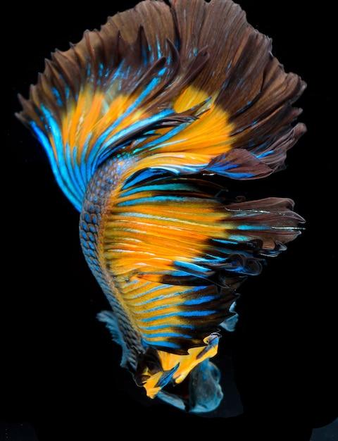 Halfmoon Betta Fish Pez Luchador Siamés Captura Movimiento De