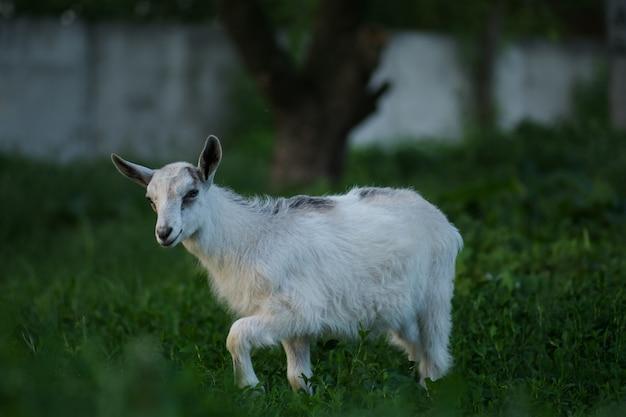 Secreción nasal en cabras