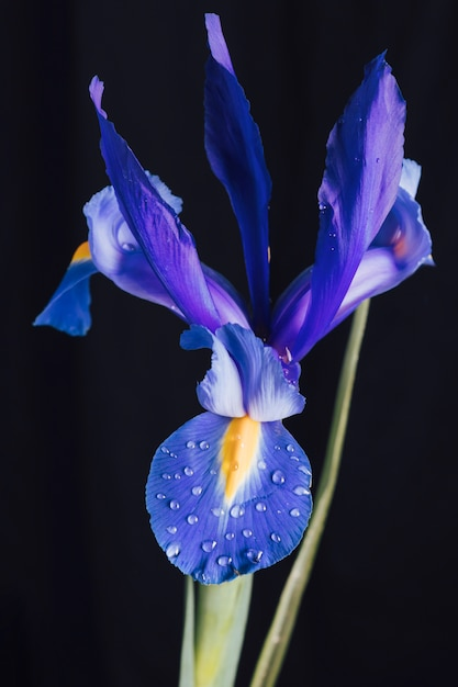 Hermosa flor azul fresca en rocío Foto gratis