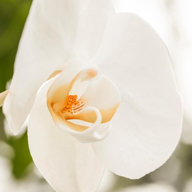 Hermosa flor blanca con centro amarillo. Foto gratis
