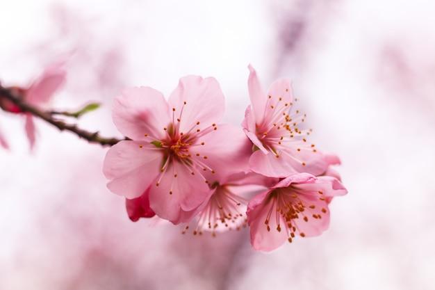 Hermosa flor de cerezo Foto gratis