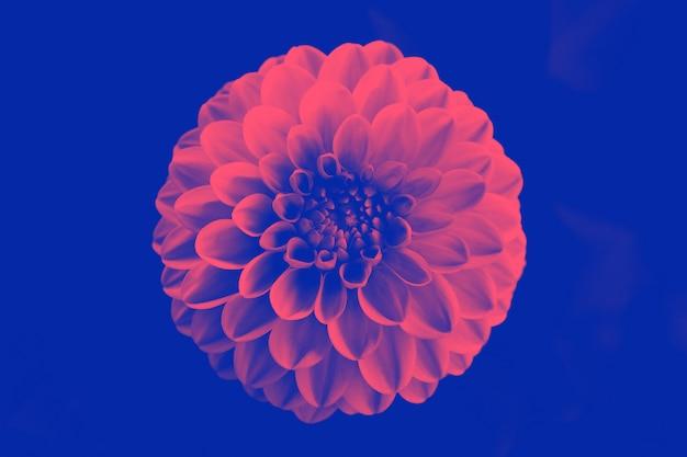 Hermosa flor de duotono. Foto Premium