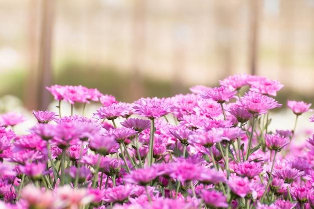 Hermosa de las flores de crisantemos, margaritas en el jardín de la ...