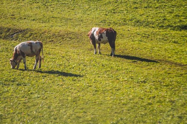Hermosa foto de dos vacas comiendo en un campo de hierba en los dolomitas italia Foto gratis
