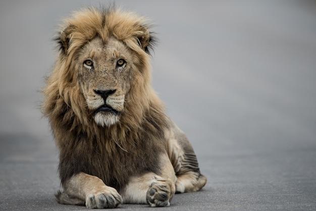 Hermosa foto de un león macho descansando en la carretera Foto gratis