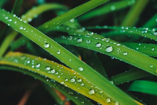 Hermosa hierba verde brillante vivo con gotas de rocío de cerca con espacio de copia. pura, agradable, agradable vegetación con gotas de lluvia en la luz del sol en macro. fondo de plantas con textura verde en tiempo de lluvia. Foto Premium