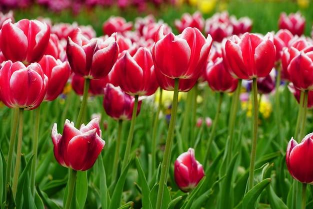 Hermosa imagen de tulipanes rosas bajo la luz del sol en el jardín Foto gratis