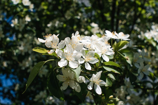 Hermosa rama de manzano de cerca Foto Premium