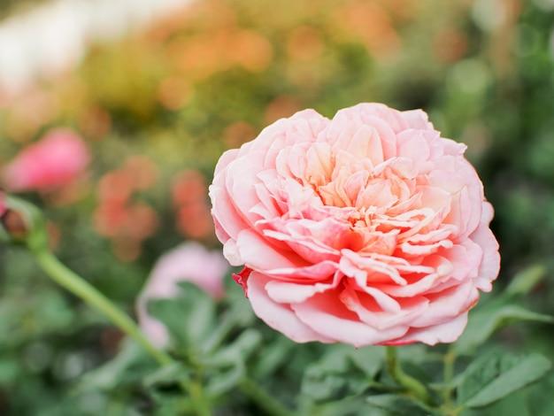 Hermosa rosa rosa en el jardín de rosas. hermosa rosa rosa ...