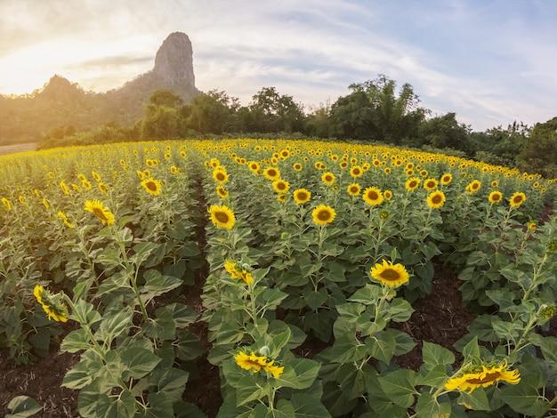 Hermosa vista del campo de girasol con fondo de montaña en puesta de sol Foto Premium
