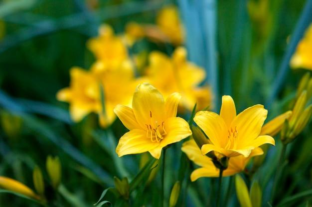 Hermosas flores amarillas fondo borroso Foto Premium