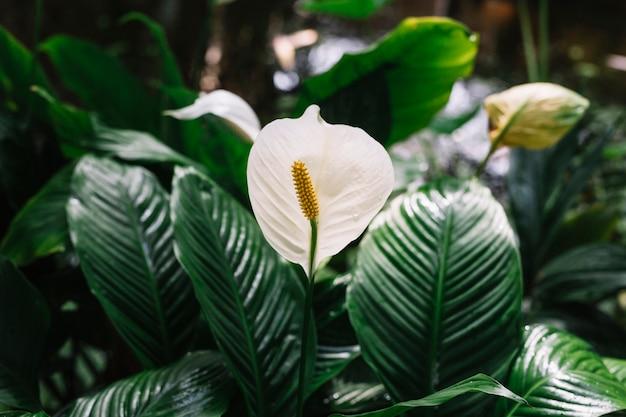 Hermosas Flores Blancas En Flor Spathiphyllum Descargar Fotos Gratis