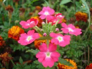 Hermosas Flores De Color Rosa De Jardin Descargar Fotos Gratis