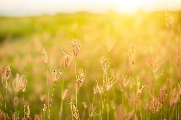 Hermosas flores de hierba blanca en el tiempo del amanecer Foto Premium